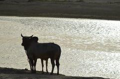Dubbtjur som uppskattar den heliga floden Indien Arkivfoto