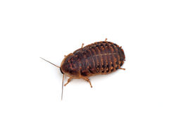 Dubia roach Stock Images