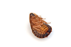 Dubia Roach Stock Photo