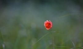 Dubium del papavero Fotografia Stock