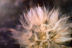 Dubius do Tragopogon Close-up gigante do dente-de-leão Flowe bonito do ar imagens de stock royalty free