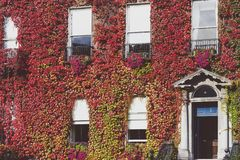 Building in central Dublin covered in automn-coloured red ivy. DUBLIN, IRELAND - September 30th, 2017: Building in central Dublin covered in autumn-coloured red Stock Photo