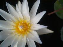 Dubois, ocienia, kwiaty, woda, liście, kolor żółty, czarny tło, kolor, woda Fotografia Stock