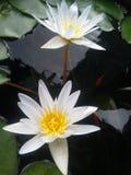 Dubois, sombras, flores, água, folhas, amarelo, fundo preto, cor, água Fotografia de Stock Royalty Free