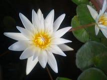 Dubois, sombras, flores, agua, hojas, amarillo, fondo negro, color, agua Fotografía de archivo libre de regalías
