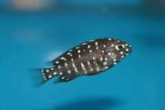 Duboisi Cichlid (Tropheus duboisi) aquarium fish Stock Images