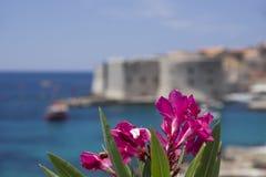 Dubrovnik, Chorwacja, Kwitnący bougainvillea z St John fortecą w tle Zdjęcie Stock
