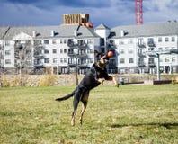Duc attrapant une boule photographie stock libre de droits