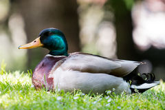 Duc in the grass Stock Photography