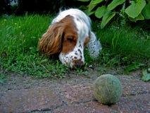 Duca 3, un cane con la sfera Immagine Stock