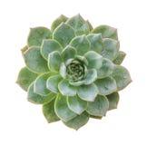 Duch rośliny sukulent odizolowywający Odgórny widok fotografia royalty free