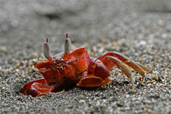 ducha czerwonego kraba Fotografia Royalty Free