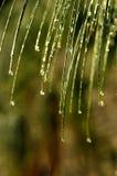 Ducha de la aguja del pino Fotografía de archivo libre de regalías