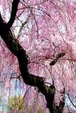 Ducha de los flores de cereza Imagenes de archivo