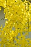 Ducha de oro, fístula de la casia Imagen de archivo