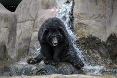 Ducha del oso Fotografía de archivo libre de regalías