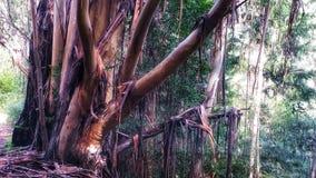 Ducha drzewo Zdjęcia Stock