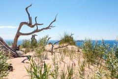 Ducha drzewo dosypianie niedźwiedzia diun obywatel Lakeshore Zdjęcie Royalty Free