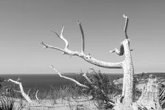 Ducha drzewo przy dosypianie niedźwiedzia diunami w Empirowym Michigan obrazy royalty free