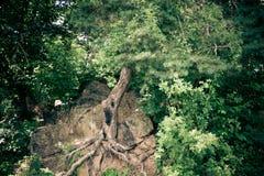 Ducha drzewo w naturze Zdjęcie Stock