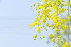 Ducha, fístula de la casia o árbol de tubo de pudín de oro Fotografía de archivo libre de regalías