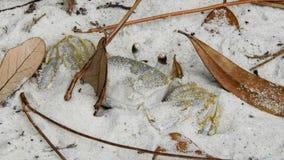 Ducha krab Camouflaged w Białym piasku Fotografia Royalty Free