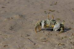 Ducha krab, Mozambik Fotografia Royalty Free