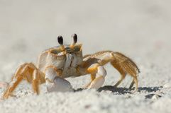 Ducha krab w piasku wzdłuż Wiggins przepustki, Floryda zdjęcia stock