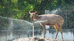 Ducha que toma femenina de los ciervos del Sambar de la fuente imagen de archivo