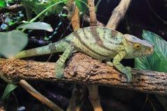 Duchownego kameleon Zdjęcie Royalty Free