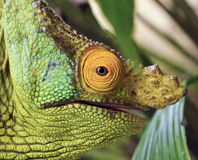 Duchownego kameleon (Calumma parsonii) Fotografia Royalty Free