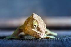 Duchownego kameleonu przód Zdjęcie Stock