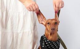 Duchshund Imagem de Stock Royalty Free