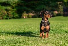 Duchshund Immagini Stock