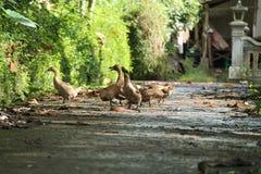 Duck в дворе, смотря что-то для съешьте, в версии 5 поля стоковое изображение rf