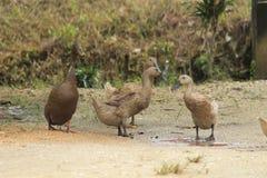 Duck в дворе, смотря что-то для съешьте, в версии 10 поля стоковые фото