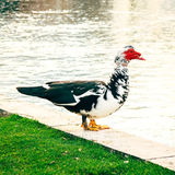 Duck в парке города в Solin, Хорватии, наслаждаясь водой стоковая фотография rf