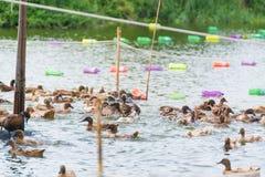 Duck в ферме, съешьте и заплывание в болоте стоковая фотография rf
