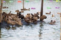 Duck в ферме, съешьте и заплывание в болоте стоковые фотографии rf