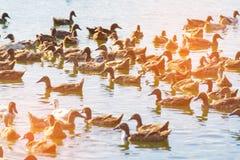 Duck в ферме, съешьте и заплывание в болоте стоковая фотография