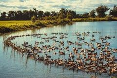 Duck в ферме, съешьте и заплывание в болоте стоковое фото rf