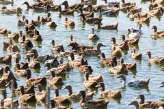 Duck в ферме, съешьте и заплывание в болоте стоковые изображения