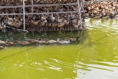 Duck в ферме, съешьте и заплывание в болоте стоковое фото