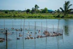 Duck в ферме, съешьте и заплывание в болоте стоковое изображение rf