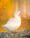 Duck гусыня в природе к последнему часу, золотому часу Стоковое Изображение