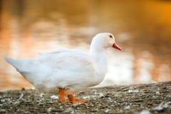 Duck гусыня в природе к последнему часу, золотому часу Стоковые Изображения