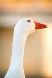 Duck гусыня в природе к последнему часу, золотому часу Стоковая Фотография RF