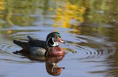 duck древесина Стоковая Фотография RF