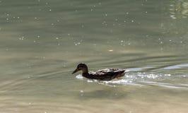 Duck заплывание в пруде чистой воды весной стоковые изображения rf
