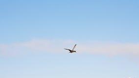 duck летание Стоковая Фотография